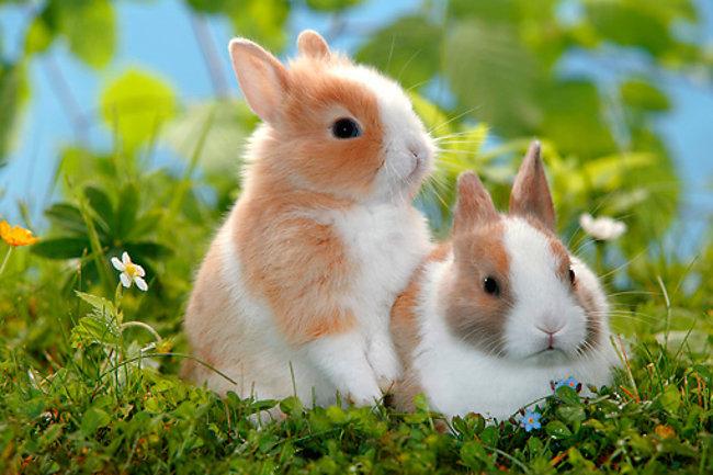 Extrem Prix d'un lapin nain ? Où acheter son animal ? KA17