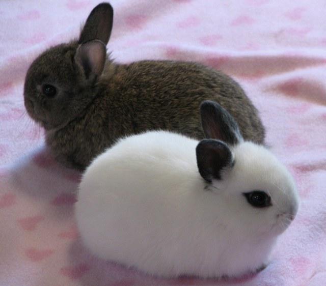 Favorit Quelques généralités sur les lapins nains DI32